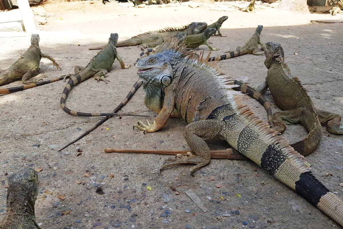 IguanaFar